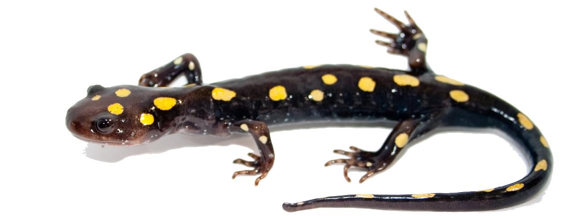 Salamander PNG Image SVG Clip arts