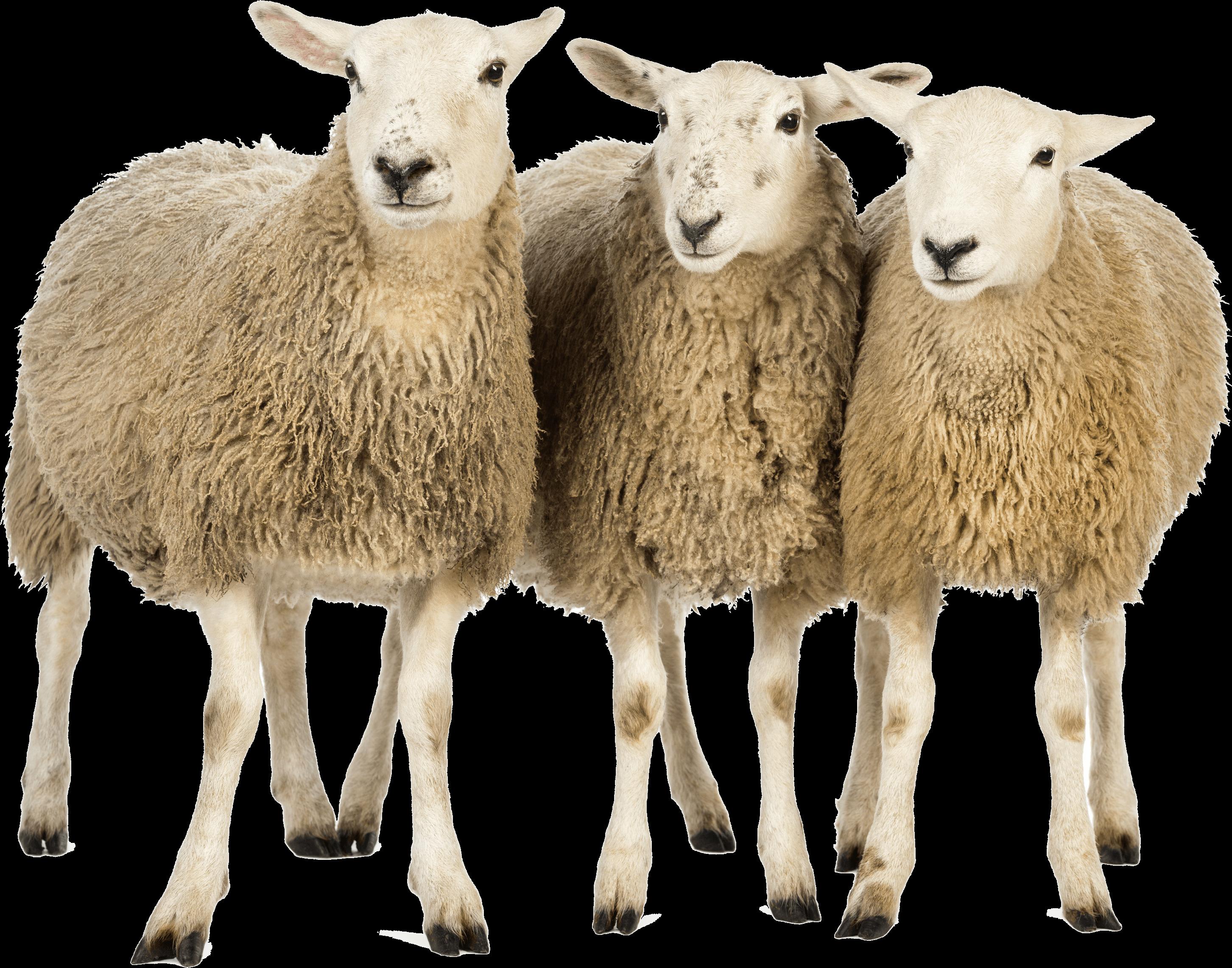 Sheep PNG Download Image SVG Clip arts