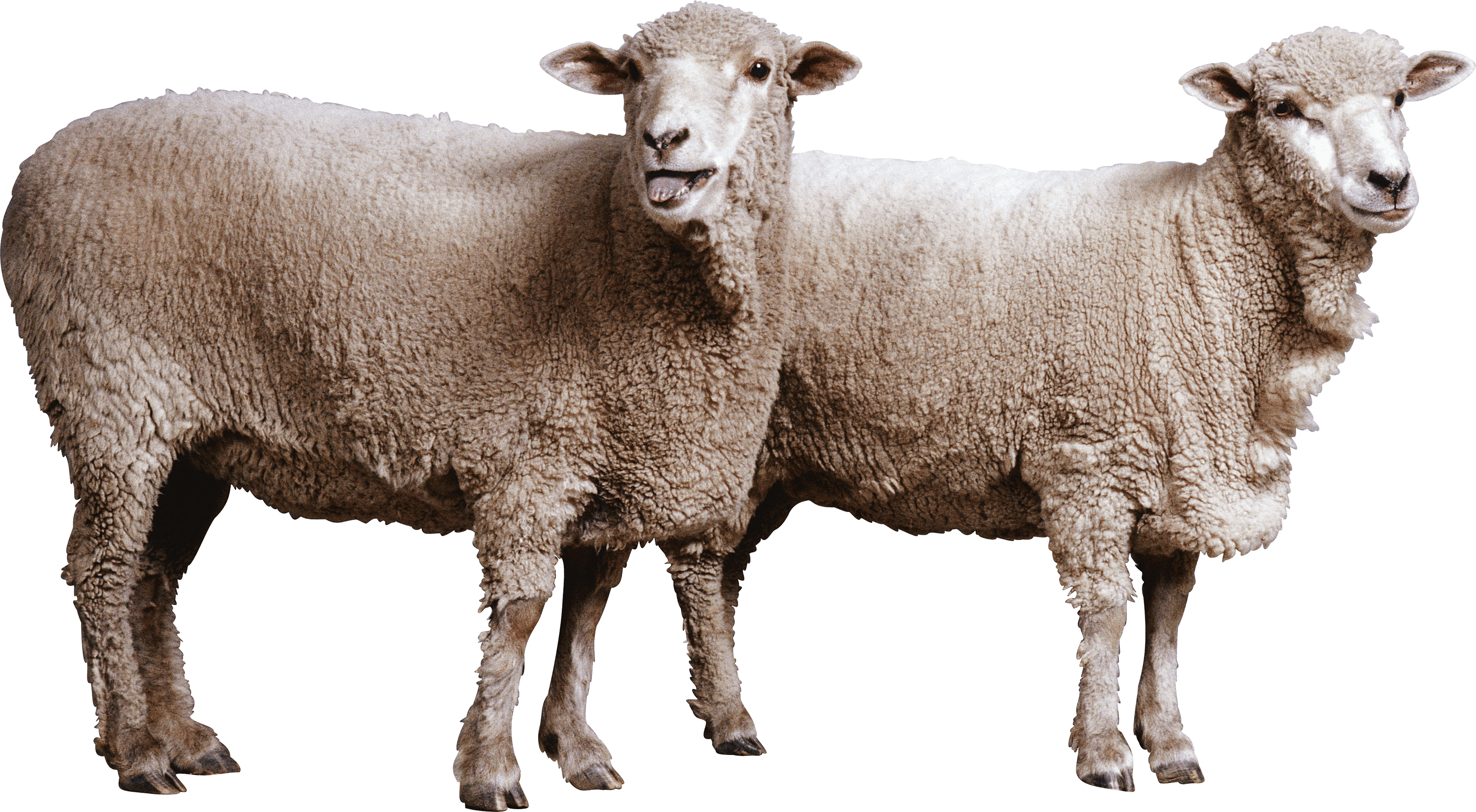 Sheep PNG File Download Free SVG Clip arts