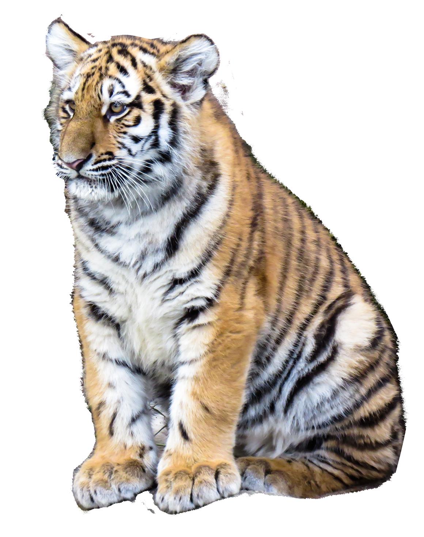 Siberian Tiger PNG Clipart PNG, SVG Clip art for Web ...