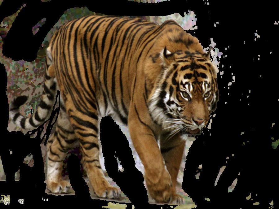 Siberian Tiger Transparent Background SVG Clip arts