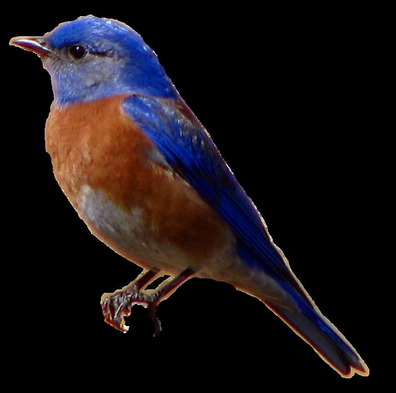 Sparrow Background PNG SVG Clip arts