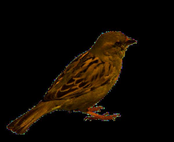Sparrow PNG Picture SVG Clip arts