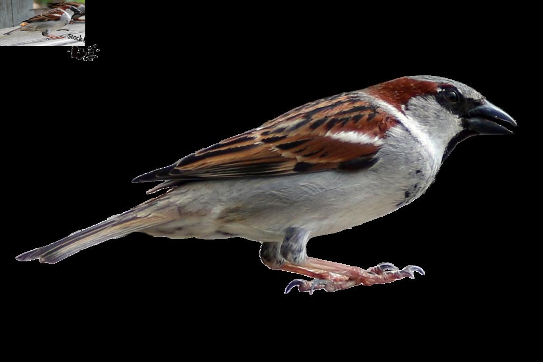 Sparrow PNG Transparent Image SVG Clip arts