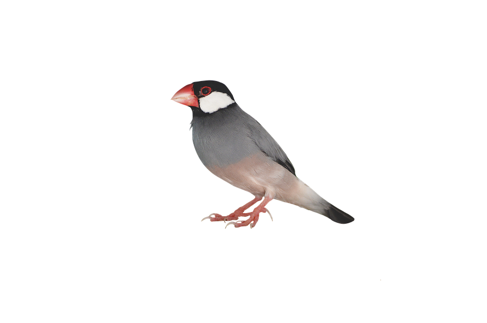 Sparrow Transparent Background SVG Clip arts