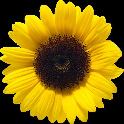 Sunflower PNG File SVG Clip arts