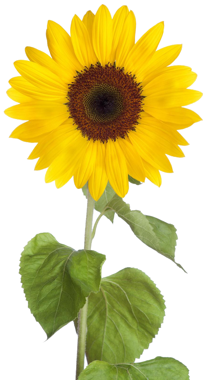 Sunflower PNG Free Download SVG Clip arts