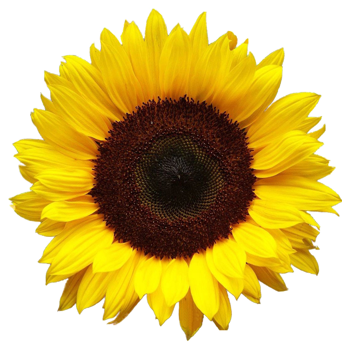 Sunflower PNG HD SVG Clip arts