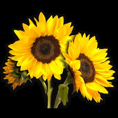 Sunflower PNG Photos SVG Clip arts
