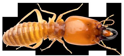 Termite PNG Transparent SVG Clip arts