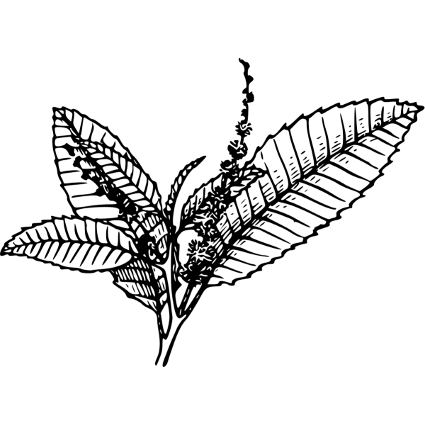 Chestnut PNG Clip art