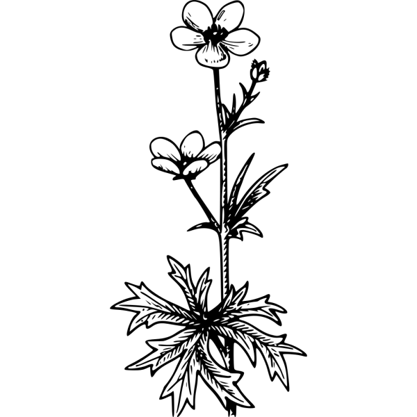 Buttercup PNG Clip art