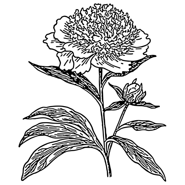 Hydrangea Plant PNG Clip art