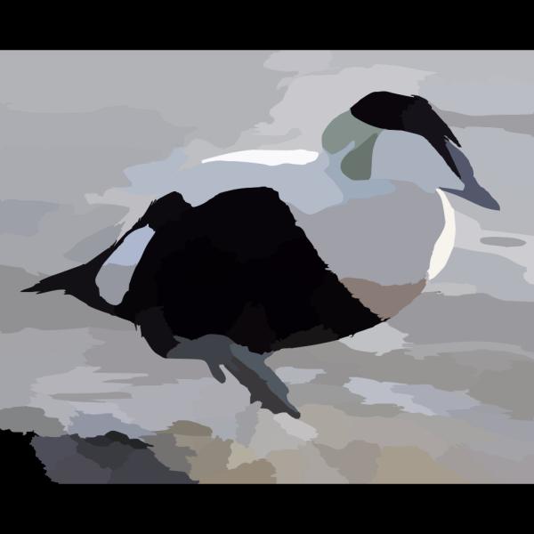 Common Eider PNG Clip art