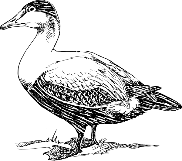 Black Duck PNG Clip art