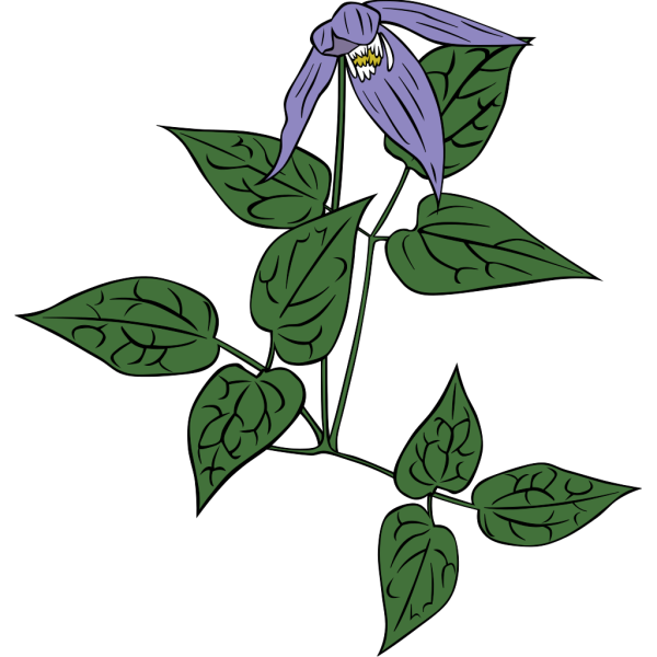 Clematis Occidentalis Outline PNG Clip art