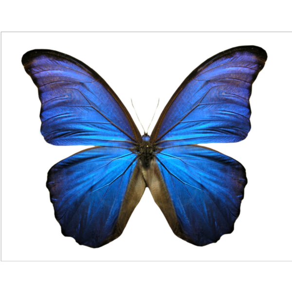 Buterfly  PNG Clip art