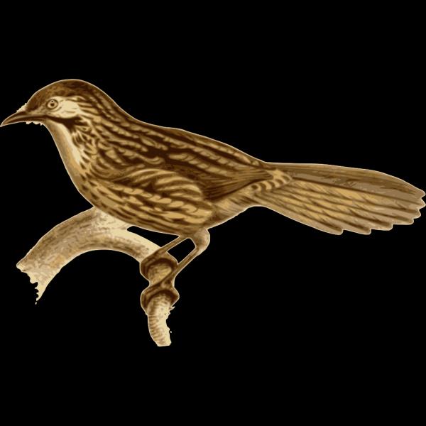 Babax Lanceolatus PNG Clip art