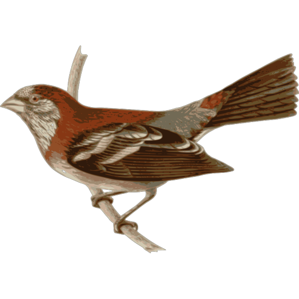Carpodacus Trifasciatus PNG Clip art