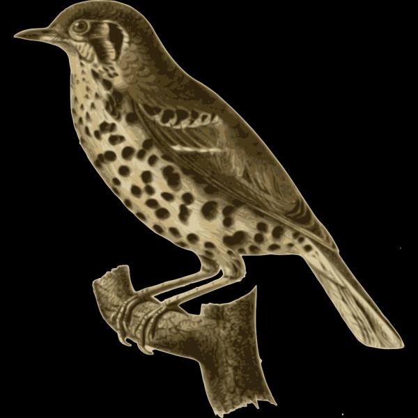 Conopophaga Aurita PNG images