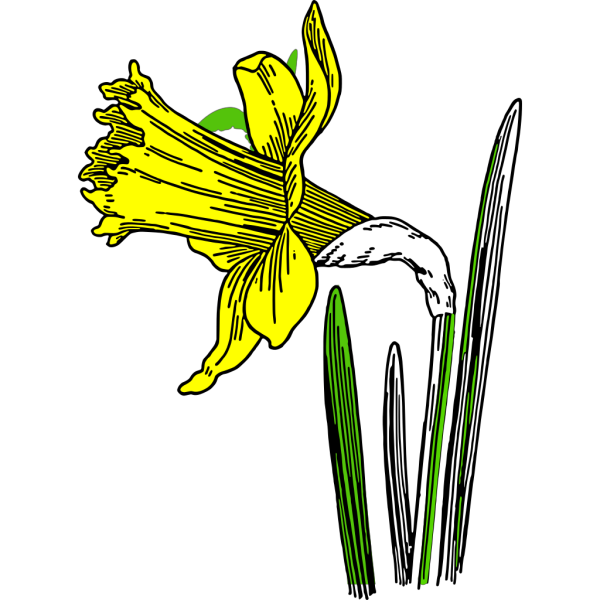 Daffodil 02 PNG images