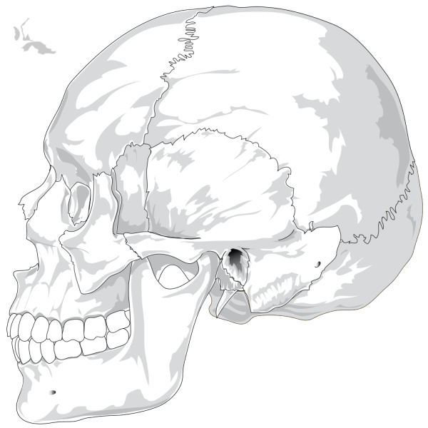 Human Skull Side View PNG Clip art