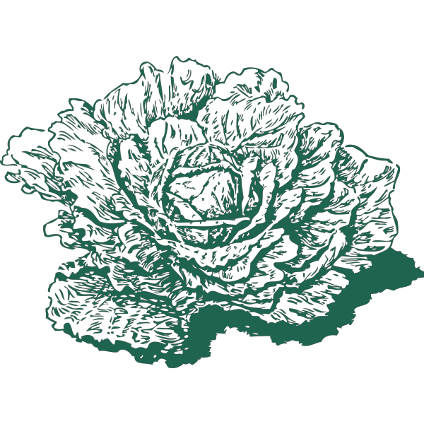 Dutch Cabbage PNG images