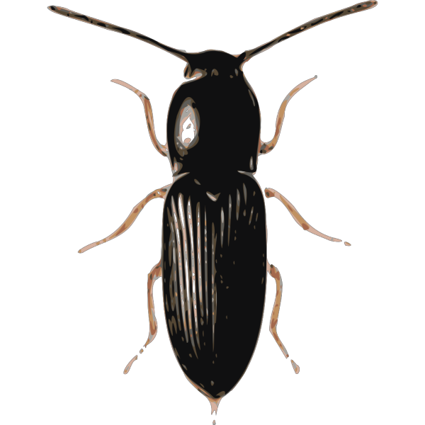 Insect Beetle Cardiophorus PNG Clip art