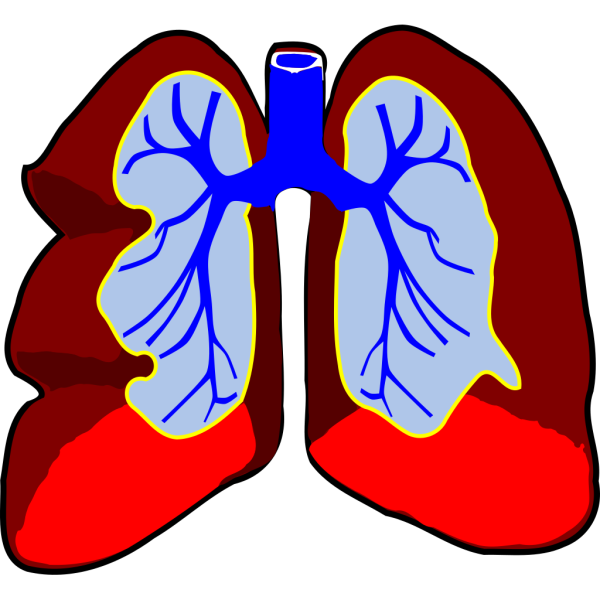 Healthy Lungs PNG clipart