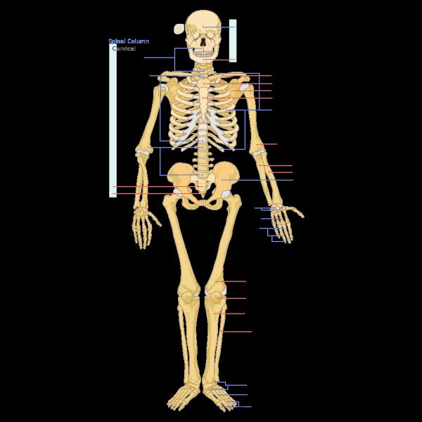 Human Skeleton Front En PNG image
