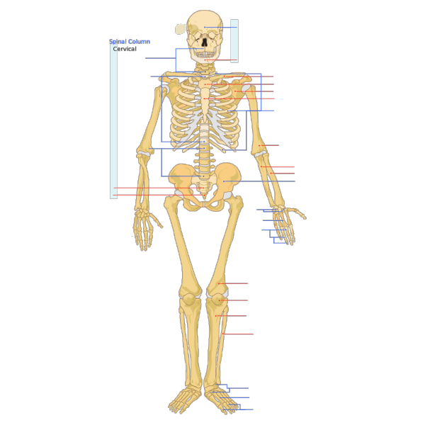 Human Skeleton Front En PNG icons