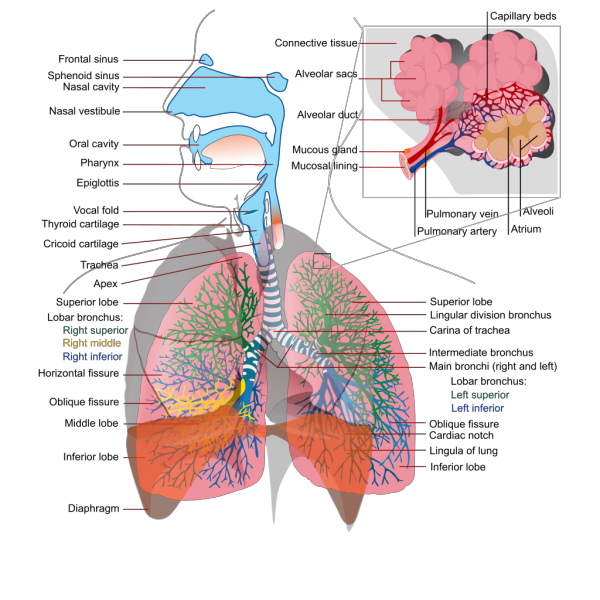 Respiratory System Complete En PNG Clip art