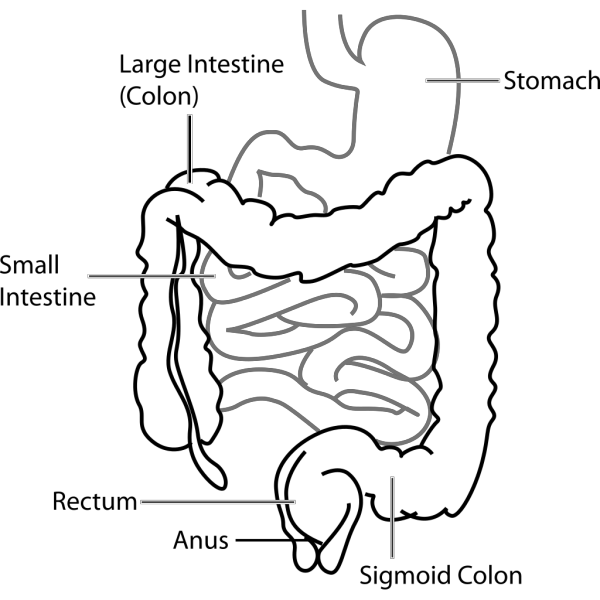 Intestine Diagram PNG Clip art