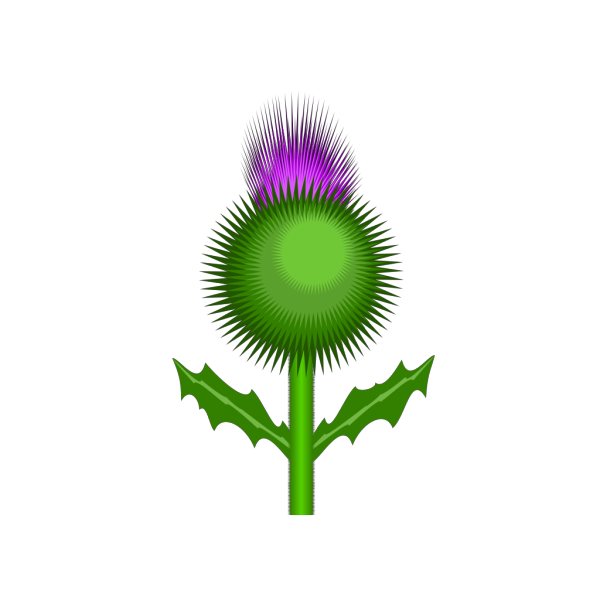 Scottish Thistle PNG clipart