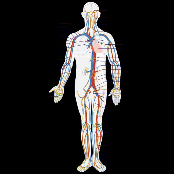 Circulatory System En PNG Clip art