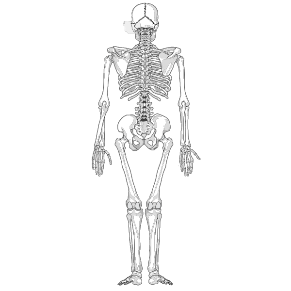 Human Skeleton Back No Text No Color PNG Clip art