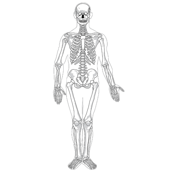Human Skeleton Front No Text No Color PNG Clip art