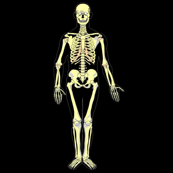 Skeletal Diagram PNG Clip art