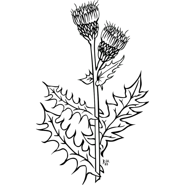 Creeping Thistle Coloring Page PNG images