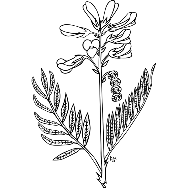 Plains Sweet Broom Coloring Page PNG images