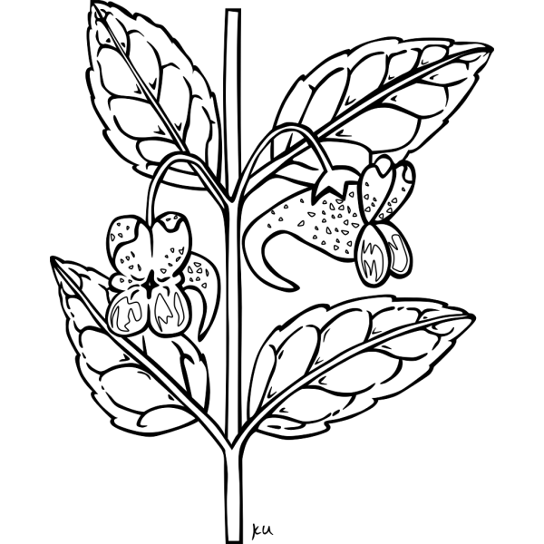 Orange Jewelweed Coloring Page PNG Clip art