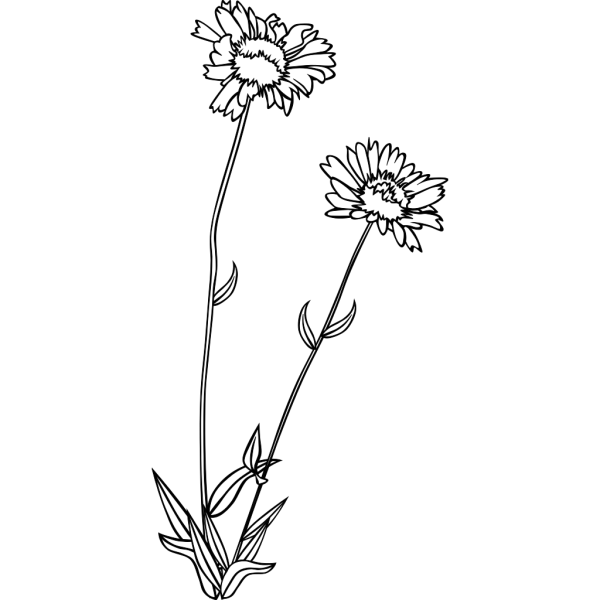Common Blanketflower Coloring Page PNG Clip art