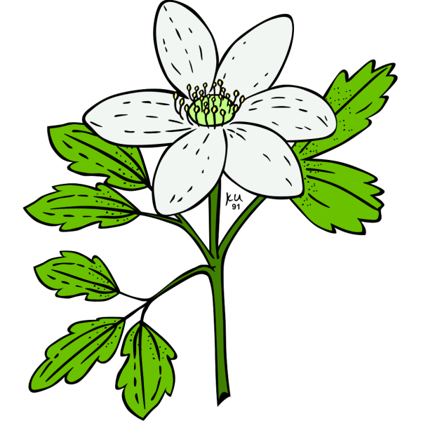 Anemone Piperi Windflower PNG Clip art