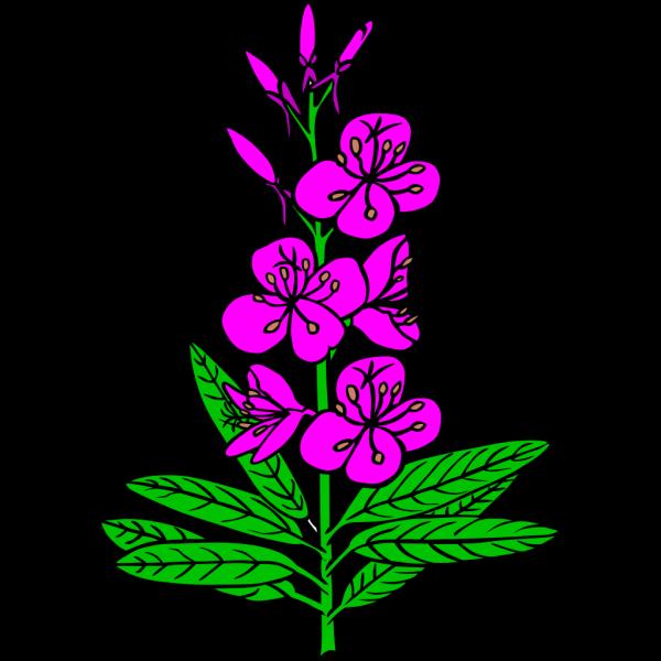 Ku Epilobium Angustifolium PNG Clip art