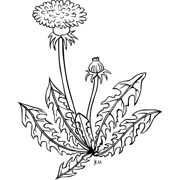 Ku Taraxacum Officinale Outline PNG Clip art