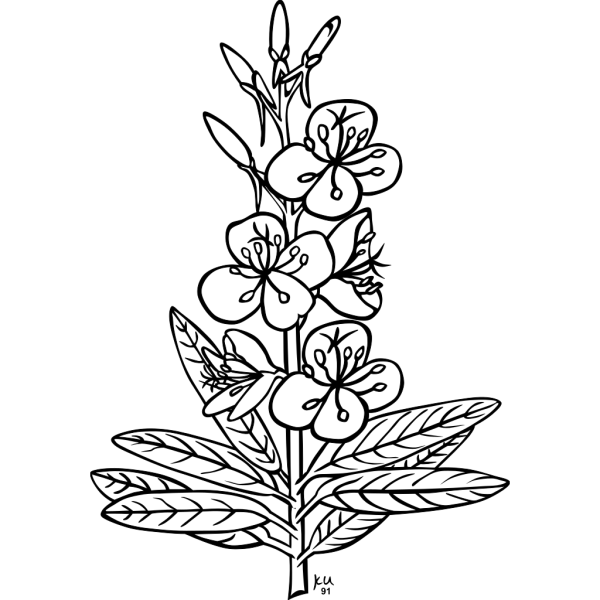 Ku Epilobium Angustifolium Outline PNG Clip art