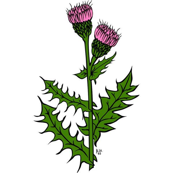 Cirsium Arvense PNG Clip art