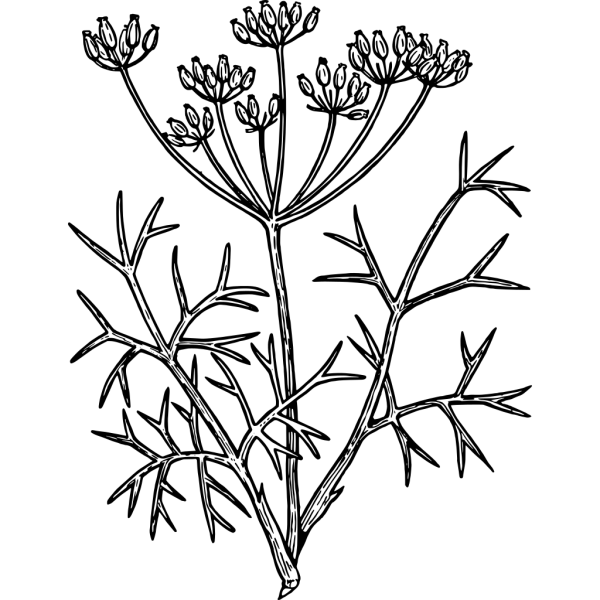 Fennel PNG Clip art