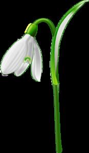 Snowdrop (galanthus Nivalis) PNG Clip art