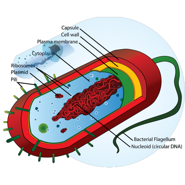 Bacteria Cell PNG images
